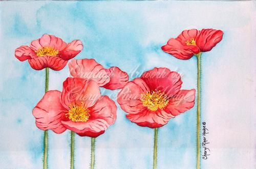 Iceland Poppies 1